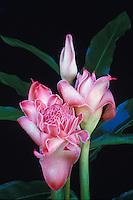Pink torch ginger (nicolaia elatior)