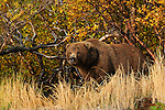 A lone grizzly bear, Ursus arctos horribilis, stands on the bank of the river in Alaska in the fall.