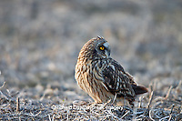 01113-011.17 Short-eared Owl (Asio flammeus) on ground near Prairie Ridge State Natural Area, Marion Co., IL