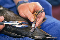 Scientists bands the leg of a Surf Scoters during a population studay project related to the Exxon Valdez Oil Spill, Prince William Sound, Alaska.