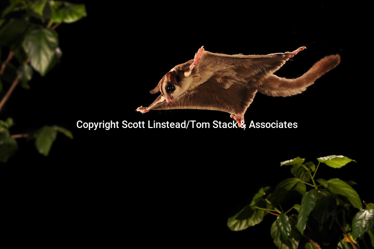 A marsupial Sugar Glider, Petaurus breviceps, gliding between tree branches.