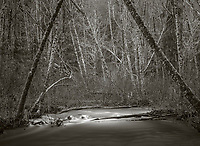 Vashon Island, Washington:<br /> Bare winter alder forest along Shinglemill Creek