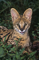 678054011 a captive serval kittne felis serval studies its surroundings at a wildlife rescue facility species is native to africa the white phase is a genetic abnormality condition