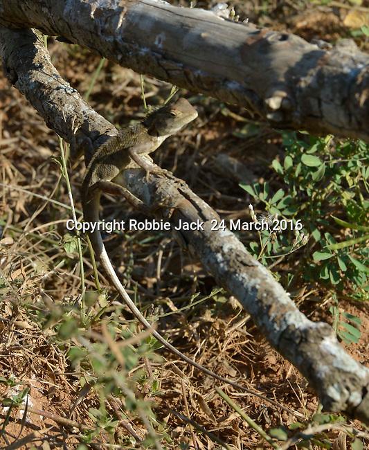 Yala National Park Sri Lanka<br /> Chameleon
