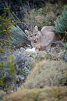 There are many pictures of this species on the Internet. This cat (variously known as Puma, Mountain Lion, Cougar, Panther, Catamount - the scientific name is Puma concolor) enjoys the widest distribution of any cat in the Western Hemisphere, from the Yukon in Canada to the southern tip of South America. In North America the Puma survives by being reclusive and wary. Humans and other predators abound on this continent and as a result most Puma images we've seen taken in North America were captive or game farm animals. However, in the southern portion of both Chile and Argentina, the region of Patagonia, these cats are the apex predators. With no bears or wolves or jaguars around, Pumas can be viewed in daytime and will even hunt opportunistically in daylight. <br /> <br /> This is a wild female Puma, named Petaca by local guides. It's not a technically perfect, contest-winning image, but to us the eyes tell the story of the Patagonian Puma. Look at those eyes. The fire and the passion highlight the struggle to survive. Here Petaca is feeding on a Rhea (a huge, flightless bird related to the Ostrich). First time we've seen a cat with that prey, and the situation was doubly unique. Based on her location over the last few days and the age of the carcass, our guides were pretty sure Petaca did not kill this bird. Adult Pumas generally do not eat prey they don't kill themselves. This cat is about 18 months old - just separated from her mother this year - so perhaps she still carries that cub-like trait.