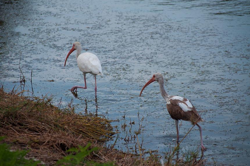 White Ibises (Eudocimus albus), Pelican Island National Wildlife Refuge. Vero Beach, Florida, US