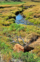 Elk in Yellowstone National Park Wyoming