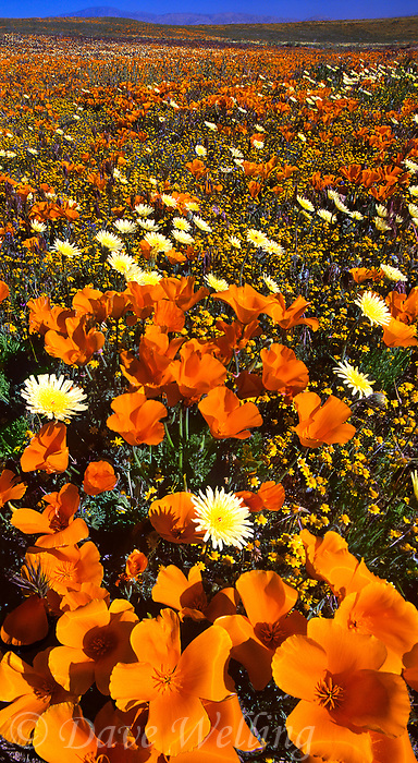 906500002 vertical panoramic of a field of high desert wildflowers california poppies eschscholtzia californica and desert dandelion malacothrix glabrata near the lancaster poppy preserve antelope valley california