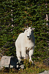Young mountain goat billy. Glacier National Park, Montana.