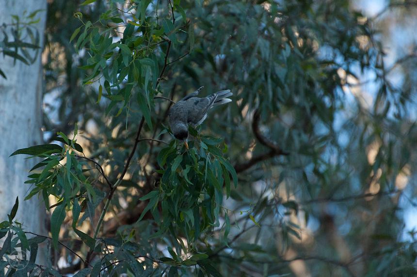 A Noisy Miner bird (manorina melanocephala) feeding in a eucalyptus near Adelaide, South Australia.