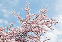 Nederland Amstelveen  2016 04 09.  Cherry Blossom Festival in het Amsterdamse Bos . Het Japanse Sakura (Kersenbloesemfestival) markeert de start van de lente. Volgens traditie vieren families en vrienden dit met een picknick onder de kersenbomen die in bloei staan. De gemeente Amstelveen organiseert dit festival voor de Japanse gemeenschap, als dank voor de schenking van 400 kersenbomen in 2000. Foto Berlinda van Dam / Hollandse Hoogte