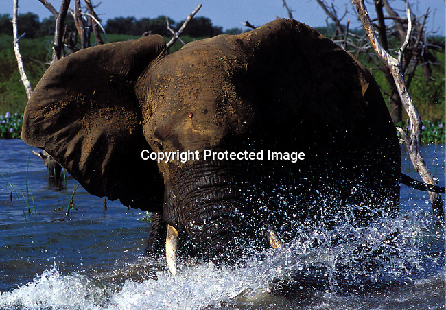 dicozim00269.Foreign Country.  Zimbabwe. A Kariba elephant walking the water on April 15, 2003 on Lake Kariba, a lake in Zimbabwe. Wildlife, water, tusks. .©Per-Anders Pettersson/ iAfrika Photos.