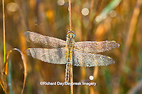 06644-00201  Wandering Glider dragonfly (Pantala flavescens) in early morning dew, Marion Co. IL