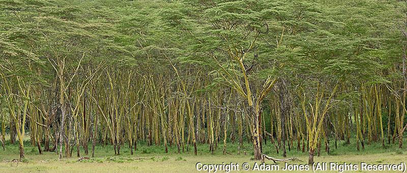 Panoramic view of Yellow fever tree, Acacia xanthophloea, Lake Nakuru; Lake Nakuru National Park, Kenya, Africa
