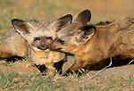 Bat-Eared Fox, Ngorongoro Conservation Area, Tanzania
