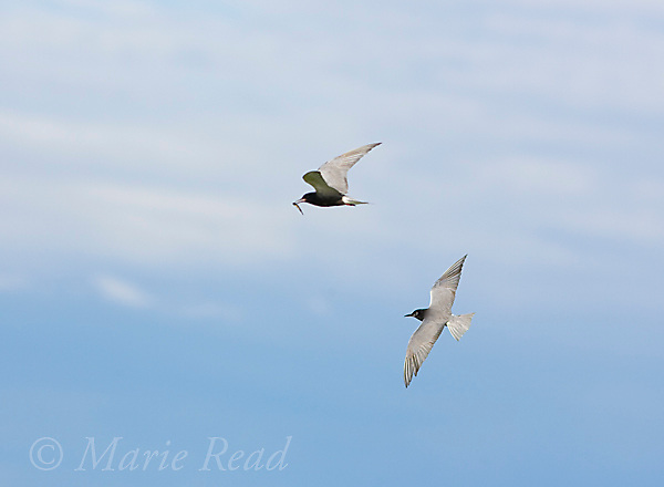 Black Terns (Chlidonias niger), two in flight, one carrying fish, Perch River WMA, New York, USA