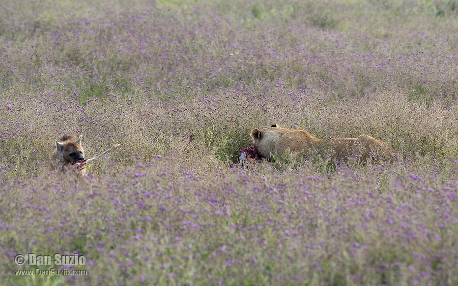 A Spotted Hyena, Crocuta crocuta, picks up a bone from a Thomson's Gazelle, Eudorcas thomsonii, that is being eaten by a female Lion, Panthera leo  melanochaita, in Ngorongoro Crater, Ngorongoro Conservation Area, Tanzania