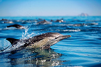 long-beaked common dolphin, Delphinus capensis, jumping, Midriff Islands, Gulf of California, Mexico, Pacific Ocean