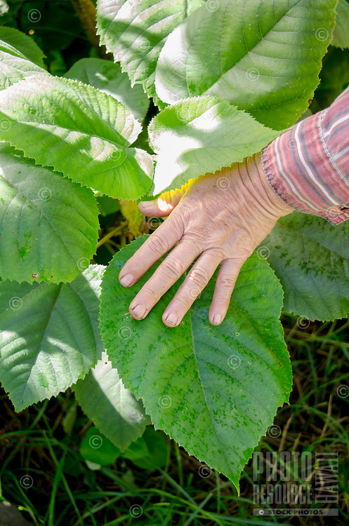 Kapa making on the Big Island: This is the poa'aha variety of wauke (paper mulberry), with heart-shaped leaves; the manalima variety of wauke has hand-shaped (five-pointed) leaves.