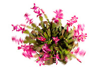 A Thanksgiving cactus, in bloom, photoshopped to whirl wildly.
