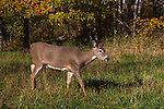 White-tailed deer walking in an autumn field.