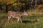 White-tailed deer walking in an autumn field.