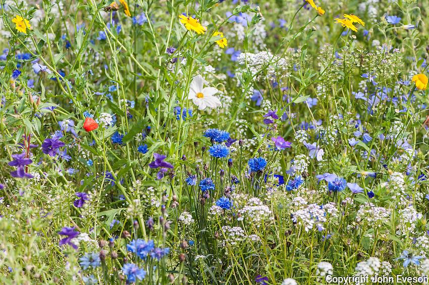 Wild flower mix in a garden, Chipping, Lancashire.