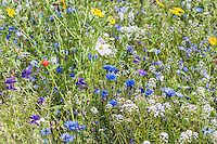 Wild flower mix in a garden, Chipping, Lancashire.