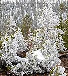 Yellowstone winter