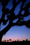 Joshua Tree framing a ridge of Joshua Trees at sunrise