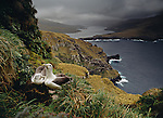 Shy Mollymawks. Victoria Passage from the Auckland Islands. Adams Island on right. New Zealand Sub Antarctic Islands.