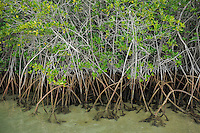 Mangrove, Santa Cruz island, Galapagos, Ecuador.
