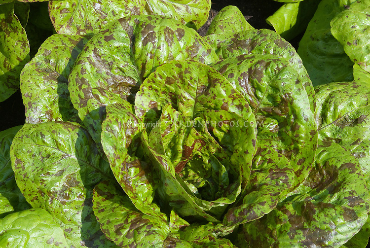 Lettuce 'Freckles' salad greens with red spots growing vegetable,  Lactuca sativa, Romaine