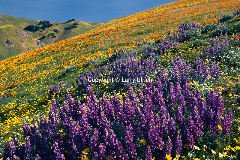 Lupine, California poppies and  California coreopsis<br />