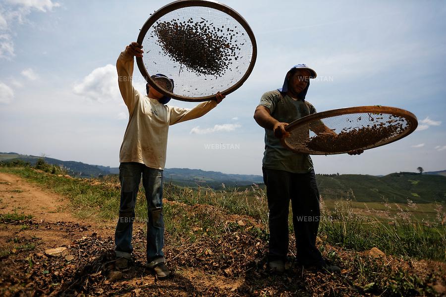 Bresil, etat Minas Gerais, Pocos de Caldas, fazenda (ferme) de cafe Recreio, 1er novembre 2012.<br /> <br /> La ferme Recreio est membre du programme Nespresso AAA. <br /> Carlos Eduardo Veiga et sa femme, Luciene Veiga, ouvriers agricoles, tamisent les rameaux de cafeiers coupes afin de ne conserver que les cerises de cafe.<br /> Le tamis sert a separer les cerises des feuilles. En le secouant energiquement, ces dernieres plus legeres tombent par terre, alors que les cerises retombent, elles, sur le tamis.<br /> Reportage les Chants de cafe_soul of coffee, realise sur les acteurs terrain du programme de developpement durable Triple AAA de Nespresso.<br /> <br /> Brazil, Minas Gerais, Pocos de Caldas, Fazenda (coffee farm) of Recreio, November 1, 2012 <br /> <br /> Recreio&rsquo;s farm is a member of the Nespresso AAA program. <br /> Carlos Eduardo Veiga and his wife, Luciene Veiga, farm laborers, sift the cut branches from the coffee trees, using a sieve, to end up only with the coffee cherries. The sieve is used to separate the cherries from the leaves. By shaking it rigorously, the light leaves fall to the ground, while the cherries remain on the screen.  <br /> Assignment: les Chants de cafe_ Soul of Coffee, implemented on the fields of Nespresso&rsquo;s AAA Sustainable Quality Program.