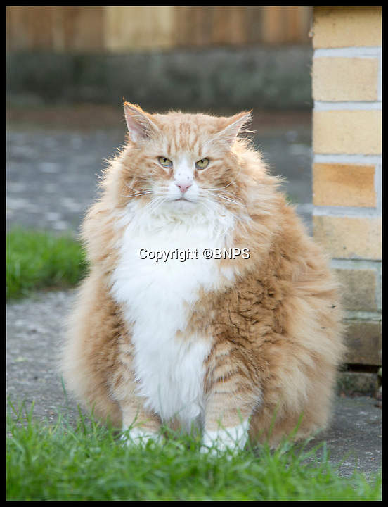 BNPS.co.uk (01202 558833)<br /> Pic: LauraDale/BNPS<br /> <br /> Ulric in his garden in Dorchester.<br /> <br /> Britain's fattest cat has now got a doggy trainer to whip him into shape.<br /> <br /> Drill Sergeant Dennis the puppy has got Ulric the cat running, boxing and wrestling in a bid to fight the flab after dieting failed.<br /> <br /> The nine-year-old Norwegian Forest cat was declared morbidly obese by his vet last year when he tipped the scales at a whopping 2st 2lbs, the average weight of a three-year-old child and twice his normal weight.