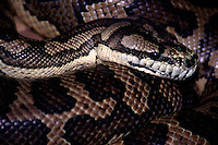 Australian Carpet Snake (Morelia spilota) is a large snake of the Pythonidae family found in Australia, Indonesia and New Guinea.