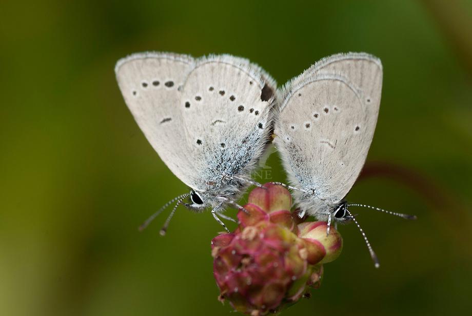 Klaverblauwtje (Polyommatus semiargus)