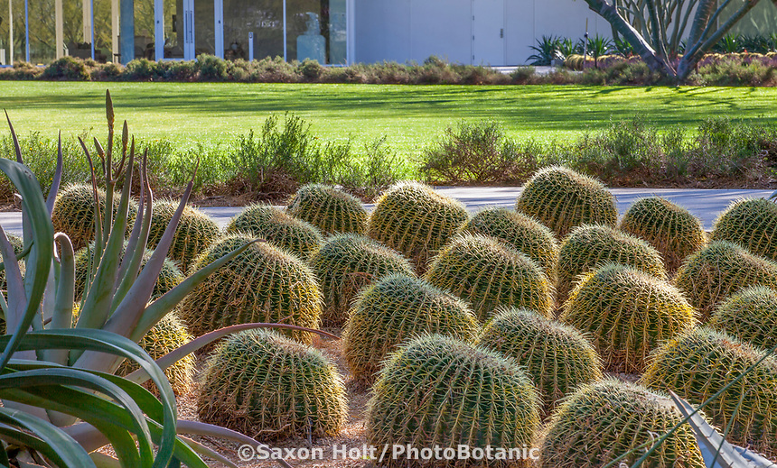 Echinocactus grusonii, Golden Barrel Cactus by path near lawn; Sunnylands