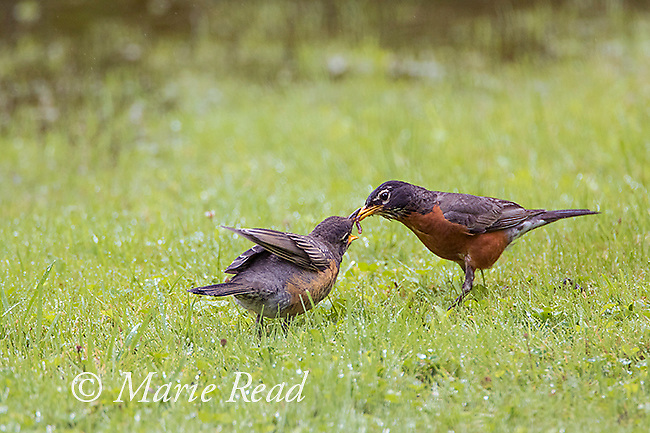 American Robins (Turdus migratorius) fledhgling (left) begging from, and being fed by, adult (right), summer, New York, USA