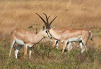 Grant's Gazelles, Nanger granti, grazing in Ngorongoro Crater, Ngorongoro Conservation Area, Tanzania