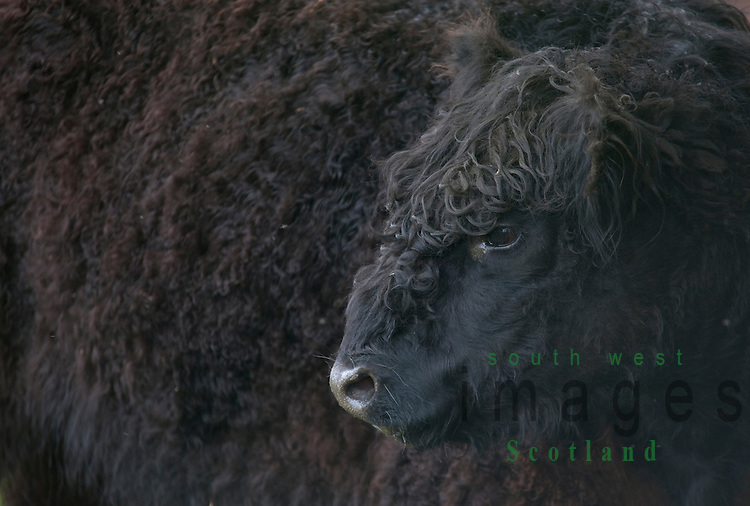 Agriculture beef cow Black Galloway cows grazing near Thornhill Dumfriesshire Scotland UK