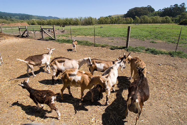 Tour of goat cheese farm Harley Farms in Pescadero,.San Mateo Coast of California, south of San Francisco.  Photo copyright Lee Foster, 510-549-2202, lee@fostertravel.com, www.fostertravel.com. Photo 456-30895