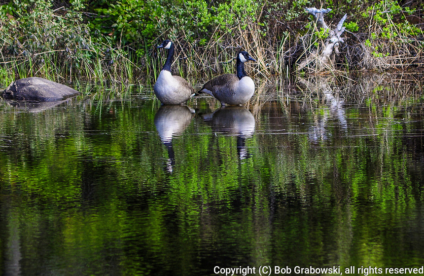 Two Canada Geese, Branta Canadensis, reflected in the waters of Cedar Lake In The Adirondack Forest Preserve In New York State