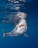 A shortfin mako shark (Isurus oxyrinchus); very aggressive and the fastest swimmer of all shark species, Pacific Ocean