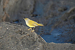 yellow warbler in the Galapagos Ecuador