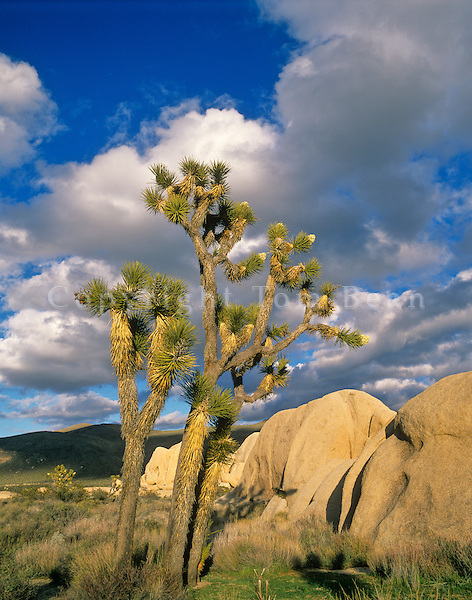 Joshua Trees in flower beside granite boulder at Belle Campground, Joshua Tree National Park, California, AGPix_0576..