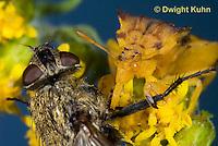 AM02-550z   Ambush Bug female, feeding on fly prey with long sharp beak, Phymata americana