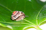 English garden snail, Helix aspersa