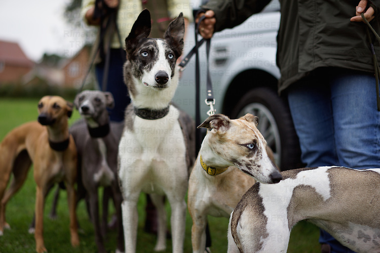 Lurchers at a dog show with owner